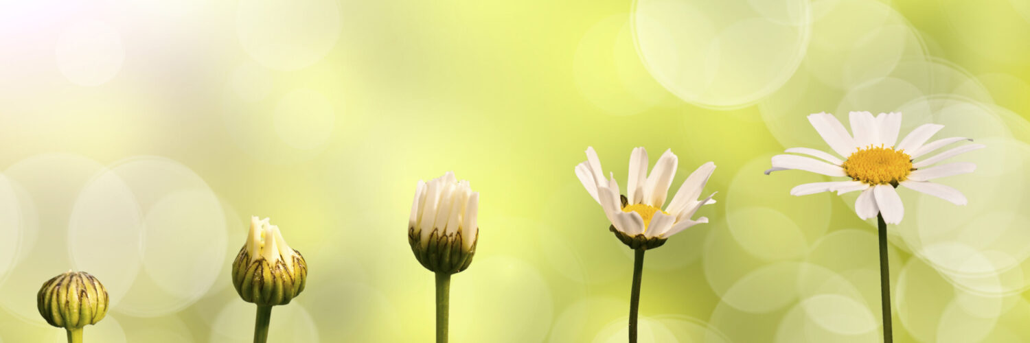 Daisies,On,Green,Nature,Background,,Stages,Of,Growth